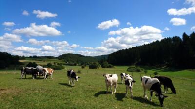 1b - koeienweides nabij Ahrdorf